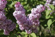 """Lilac Slideshow with Classical Music """"Scheherazade"""""""