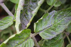 Почему скручиваются листья томата. Причины скручивания листьев помидоров. Фото - Ботаничка.ru