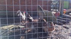 Chickens on Bill Quay farm, Pelaw