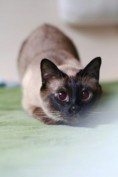 A Chinese cat blogger, Dafeierpang, has six beautiful cats. Four of them are Siamese kitties. They are all her lovely fur babies - Bao, Niu, Gun, Gou.  These gorgeous Siamese kitties aremischievousand of course very talkative. They always seem to have an answer for everything people ask. Sometim...