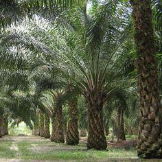The Oil Palm - Elaeis Guineensis (ปาล์มหนามทอง)