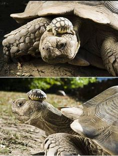 A Tortoise Wearing Her Son As A Hat cute animals nature adorable amazing animal baby animals wild life wild animals tortoise Baby Tortoise, Tortoise Care, Giant Tortoise, Sulcata Tortoise, Baby Animals, Cute Animals, Wild Animals, Young Animal, Old Mother