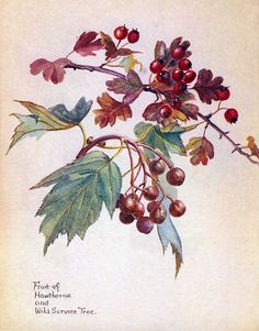 Haws and service berries,Morning Earth Artist/Naturalist Edith Holden