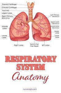 Human-Respiratory-system Important Diagrams for CBSE Class 10