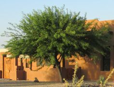 Mesquite Trees for Shade