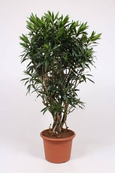 Dracaena Reflexa kaufen? - 123zimmerpflanzen