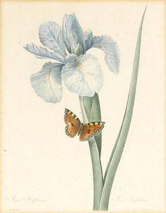 Pierre-Joseph Redouté (French-Belgian, 1759-1840): Iris Xiphium