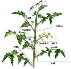 Hydroponics Gardening How to Prune Tomatoes: diagram for pruning tomato plants Hydroponic Gardening, Hydroponics, Organic Gardening, Gardening Tips, Container Gardening, Texas Gardening, Flower Gardening, Beginners Gardening, Kitchen Gardening