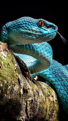 Blue Pits, Cute Reptiles, Reptiles And Amphibians, Beautiful Creatures, Animals Beautiful, Snake Images, Animals And Pets, Cute Animals, Snake Wallpaper