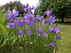 Harebell in containers! Campanula rotundifolia. Blooms for weeks!