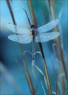 <>< dragonflies <3 love their wings and colors!