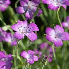 50 Agrostemma Purple Queen Flower Seeds Under by UnderTheSunSeeds