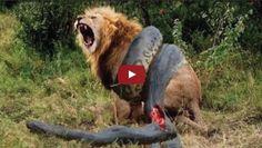 Lion VS Giant Anaconda Snake - Real Fight | SK4News (Srok Khmer For News)