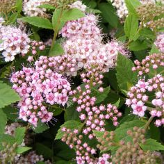 Spiraea japonica 'Little Princess' Another option for the area along the right side of the driveway.