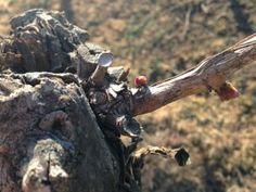 nuevos brotes en el viñedo