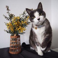 .  ぼくも #ミモザ と撮ったんやで⚘  ※造花です⚘  .  .  #mofmo#nekoclub#ペコねこ部#フェリシモ猫部#ねこのいる生活#にゃんすたぐらむ#picneko#eclatcat#ピクネコ#pecon#猫とインテリア