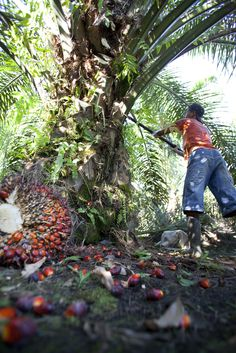 On the oil palm plantation near Tempayung, Central Kalimantan, Indonesian Borneo