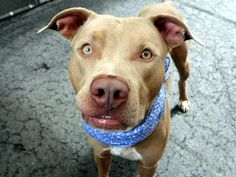 EYGPT  - A1052838 - - Manhattan  TO BE DESTROYED 10/08/15 **ON PUBLIC LIST** A volunteer writes: I'm pretty amazed at how smart Egypt is, and when I read his former family's info about him I was blown away. We're told that he lived with adults and kids 6 mos and up. He doesn't mind when the children tug his ears or touch him gently, he's crate trained, likes balls and to play fetch, plays exuberantly with other dogs, knows 'sit', &#