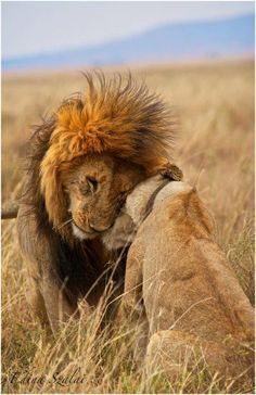 A Lion can be seen as tough & cold, but deep inside can love intensively #Leo#Truth