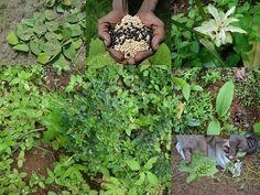 Indigenous Medicinal Rice Formulations for Diabetes and Cancer Complications, Heart and Liver Diseases (TH Group-106 special) from Pankaj Oudhia's Medicinal Plant Database