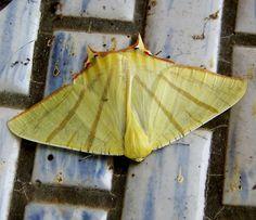 Yellow moth in Taiwan