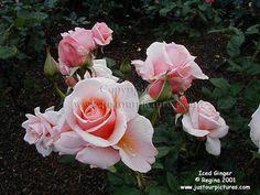 Iced Ginger rose