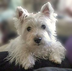 Out son, the Westie! (Jake)