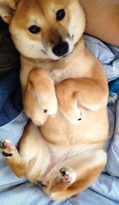 me some shibas! The 30 Most Shiba Inu Things That Have Ever Happened In The History Of Shiba Inus Shiba Inu, Pet Dogs, Dog Cat, Animals And Pets, Cute Animals, Akita, Japanese Dogs, Mans Best Friend, I Love Dogs