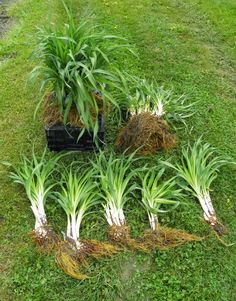 """How-To: Dividing Plants with Roots That Form Offsets"" (video) Janet Macunovich ""Daylily roots grow as offsets. This short video shows gardeners how to dig up and divide offset plants to maximize space in their garden and maintain healthy plants. Garden Shrubs, Lawn And Garden, Garden Plants, Daylily Garden, Garden Care, Front Yard Landscaping, Landscaping Ideas, Day Lilies, Garden Projects"