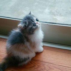 #exotickitten#exoticshorthair#cat#kitten#エキゾ#エキゾチックショートヘア#猫#子猫#ねこ#ねこ部