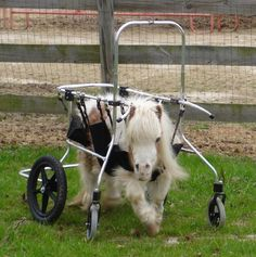 mini service horses | Training Miniature Horses as Guide Animals for the Blind