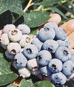 Spartan Blueberry Plants, How to Grow Fruit Plants at Burpee.com