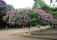 Bài thuốc Đông dược chữa bệnh từ cây bằng lăng