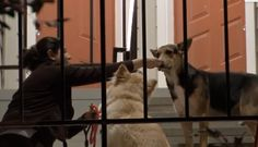 <p>For more than two weeks, a loyal German Shepherd has been wandering around a Houston apartment complex, patiently waiting for his guardian's return. But tragically, his human isn't coming back. </p>