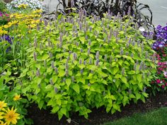 Agastache 'Golden Jubilee' 2003 AAS Flower Winner is a hardy native plant that blooms the first year from seed! Seed is available at Park Seed and Stokes. Plants, Water Plants, Botanical Gardens, Japanese Painted Fern, Herbs, Low Water Landscaping, Trees To Plant, Perennials, Native Plants