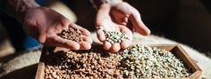 Green coffee beans are the raw, unroasted seeds of coffee cherries. Watch and learn as we show you all the things that affect their flavor when roasted.