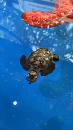 Pet Turtle, Turtle Love, Turtle Baby, Sea Turtle Pictures, Turtle Images, Save The Sea Turtles, Small Turtles, Super Cute Animals, Cute Little Animals