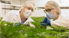 An ex-pharmaceutical executive explains why he now banks on Canada's medical marijuana industry.