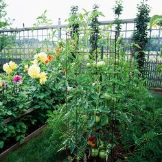 15 fun ways to grow tomatoes   (love the dahlias next to them and the creative fencing to keep out the critters)