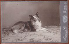 c.1900s cabinet card of collie.  From bendale collection