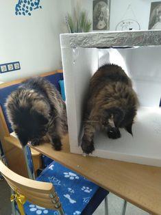 Maine Coon Spirit und Mystery spielen in und mit der Lightbox Maine Coon, Mystery, Maine Coon Cats, Playing Games, Cats