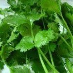 Growing cilantro tips