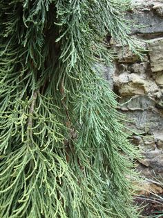 WEEPING CEDAR & NATIVE STONE create a textural interaction. RS McDANNELL