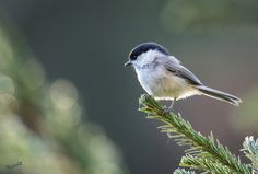 A Willow Tit was preoccupied - MatsOnni - Hömötiainen Poecile montanus Willow Tit -  http://ift.tt/2dZVra9 IFtemppicpinned in Building blocksdownld in ios #October 17 2016 at 01:42PM#via IF