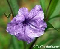 Ruellia brittoniana, Mexican petunia, Mexican Blue Bell  Click to see full-size image