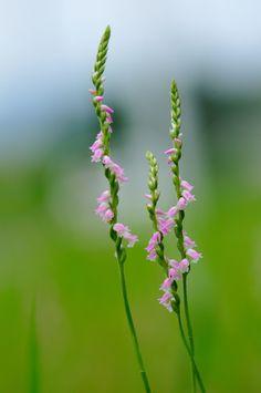 Good Morning Beautiful Flowers, Beautiful Flowers Images, Beautiful Nature Wallpaper, Flower Images, Flower Pictures, Exotic Flowers, Pretty Flowers, Pink Flowers, Growing Flowers