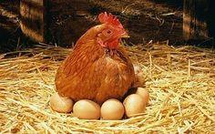 Choisissez vos poules pondeuses parmi cette liste de 10 races réputées pour pondre au moins 200 à 250 oeufs par ans, voire plus. La poule rousse numéro un de notre liste.