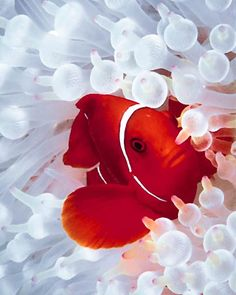It's clown fish, but for me it's nemo. Underwater Creatures, Underwater Life, Colorful Fish, Tropical Fish, Beautiful Creatures, Animals Beautiful, Fauna Marina, Life Under The Sea, Beneath The Sea