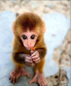 22 photos of baby animals that will make you fall in love! - The cutest baby animals: baby monkey. Cute Creatures, Beautiful Creatures, Animals Beautiful, Cute Baby Animals, Animals And Pets, Funny Animals, Wild Animals, Jungle Animals, Cute Monkey