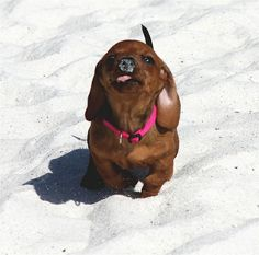 Doxie at the beach